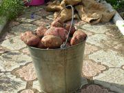 продам картофель 90 рублей ведро