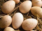 Икубационные яйца индюка