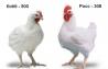 Инкубационное яйцо от ведущих производителей Чехия.