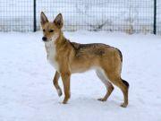 Миниатюрная, изящная комнатная собачка Лисена ищет дом