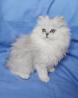 Британские котята хайленд страйт шиншиллового окраса